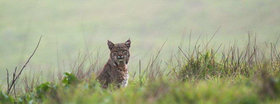 Bobcat 2- smaller