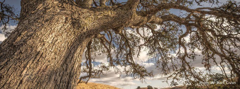 oak-at-harvey-bear1