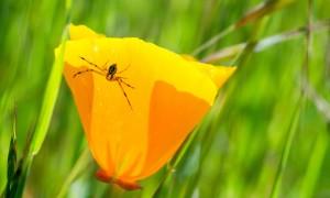 Crab Spider on Poppy-Tony Iwane2