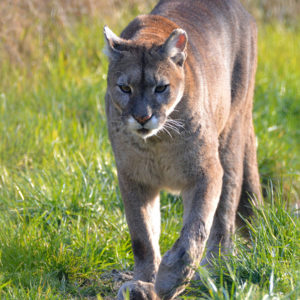 Big Step Forward For Mountain Lion Protection